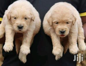 Baby Female Purebred Golden Retriever | Dogs & Puppies for sale in Nairobi, Kahawa