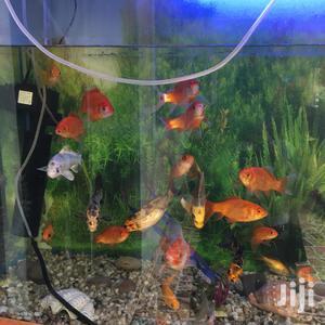 Goldfish,Koi Cups And White Comets | Fish for sale in Kiambu, Juja