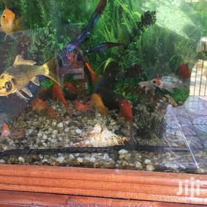 Goldfish, Koi Cups And Yellow Comets | Fish for sale in Kiambu, Juja